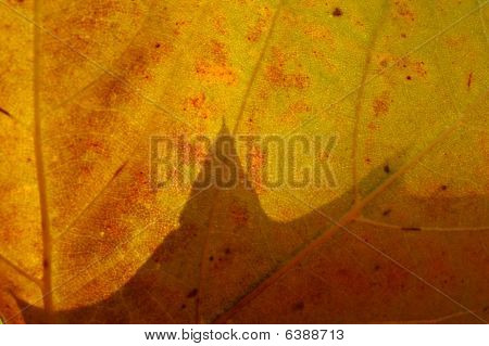 Macro View Of An Autumn Planetree Leaf