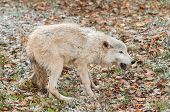 Blonde Wolf (Canis lupus) in Submissive Posture - captive animal poster