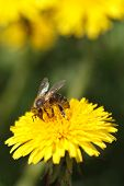 Bee collecting pollen on yellow flower dandelion. close up. vertical poster
