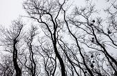 Silhouettes of bare trees with mistletoes against grey sky poster