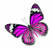 The Beautiful pink fancy butterfly isolated on white background poster