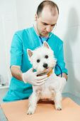 male veterinarian surgeon worker treating examining west highland white terrier dog in veterinary surgery clinic poster