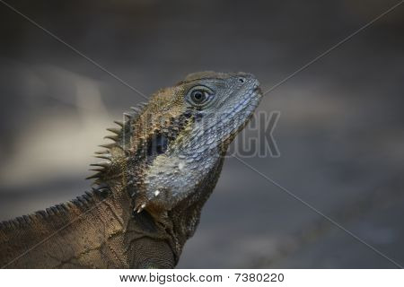Monitor lizard or iguana close up in the wild poster