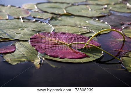Lily pads in a river
