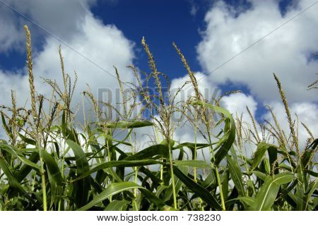 Corn in the Sky copy