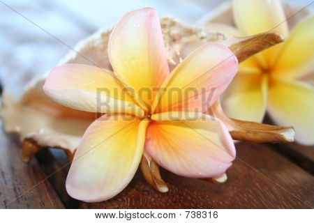 Frangipanis and Shells