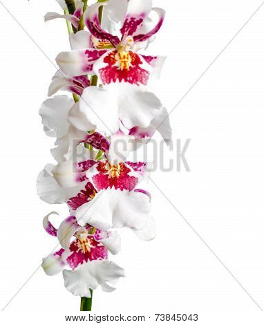 Closeup Of Blooming Beautiful Branch Dark Cherry With White Orchid Flower, Cambria Is Isolated On Wh