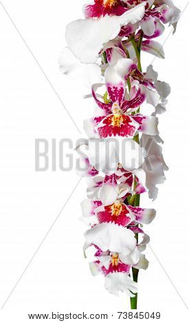 Blooming Beautiful Branch Of Dark Cherry With White Orchid Flower, Cambria Is Isolated On White Back