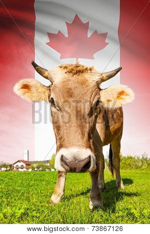 Cow With Flag On Background Series - Canada