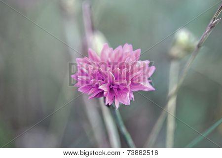 Centaurea Cyanus, Commonly Known As Cornflower