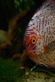 Red discus fish in an natural environment vertical image poster