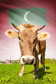 Cow with flag on background series - Maldives poster
