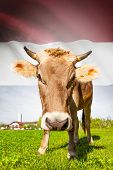 Cow with flag on background series - Netherlands poster