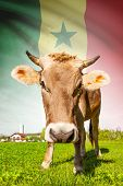 Cow with flag on background series - Senegal poster