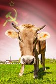 Cow with flag on background series - Union of Soviet Socialist Republics poster