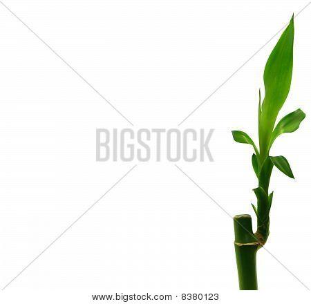 Dracaena Sanderiana - Lucky Bamboo