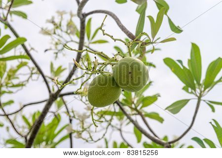 Green fruit seeds of Cerbera manghas tropical evergreen poisonous tree poster
