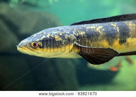 Snakehead fish in the water
