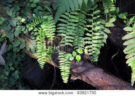 Forest Ferns And Fallen Log