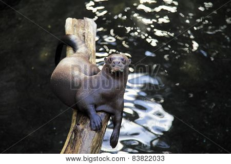 Giant otter relaxing on a log