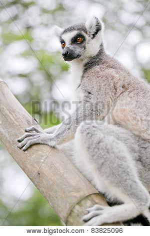 Ring-tailed Lemur (lemur Catta)