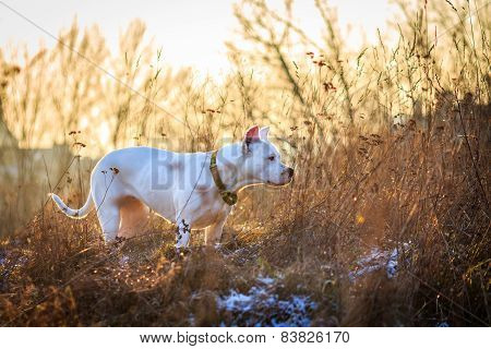 Dogo argentino in the meadow