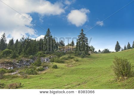 Pine Trees And Meadow