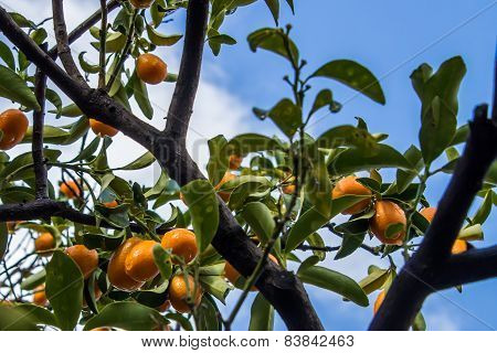 Fruit Bearing Tree Of Kumquat Asian Fruit Like A Small Orange
