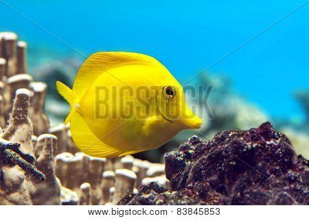 Yellow tang - Zebrasoma flavescens