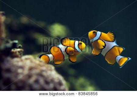 Clown anemonefish,  Orange clownfish - Amphiprion percula