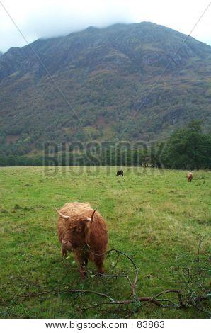 Highland Cattle At Glen Nevis