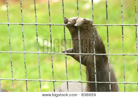 Hand of a captive gorilla holding onto the cage poster