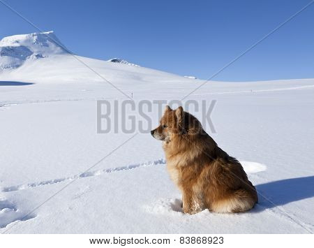 The Finnish Lapphund female in it´s habitats, biotope, winter, snow and mountains. Sunny and cold day, white and blue colors. poster
