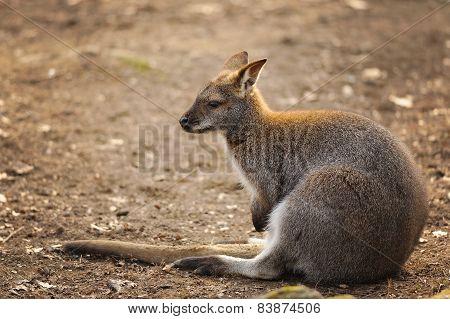 Kangaroo Sitting On The Ground