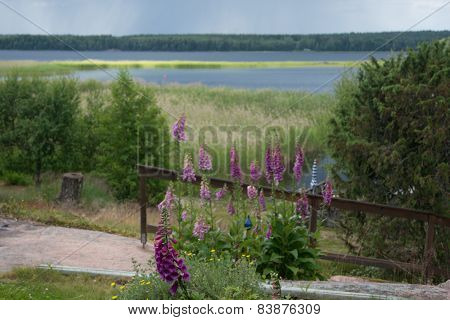 Foxglove flowers around Midsummer Varmland Sweden