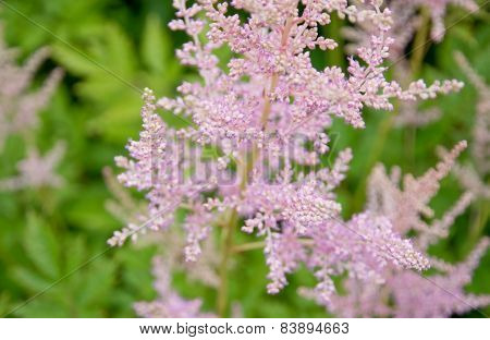 Feathery pink Astilbe flowers