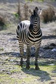 Beautiful african Zebra outdoor striped skin horse poster