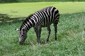 Grant's Zebra grazing by the water hole. poster