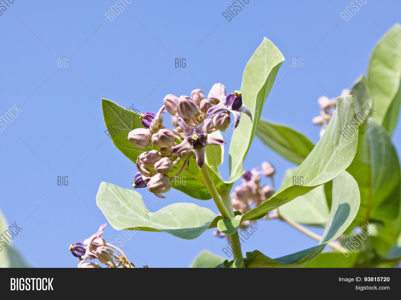 Purple Crown Flower Image Photo Free Trial Bigstock