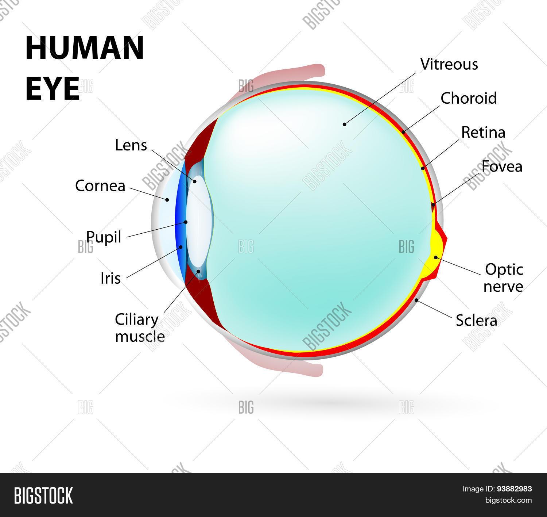 Eye. Human Anatomy Vector & Photo (Free Trial) | Bigstock