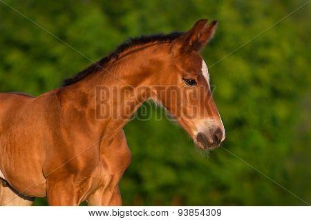 Bay foal portrait