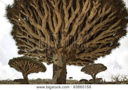 Dragon Blood Tree, Dracaena cinnabari, Socotra dragon tree,  Threatened species