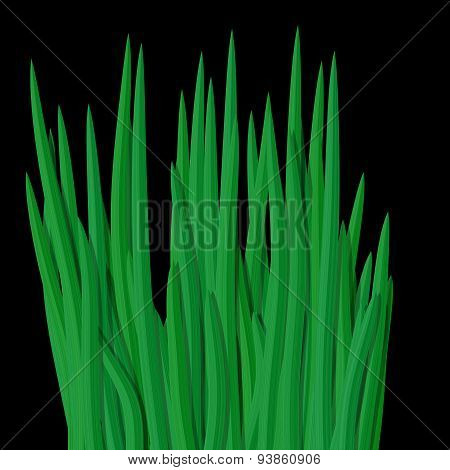 Fresh Green Grass Tussock Isolated On Black