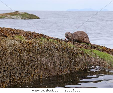 River Otter Eating