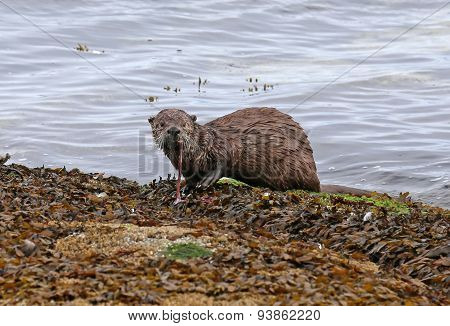 A North American river otter (Lontra canadensis) snacking on an octopus. Shot on Gabriola Island British Columbia Canada. poster