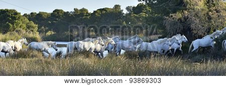 Herd Of White Horses Running