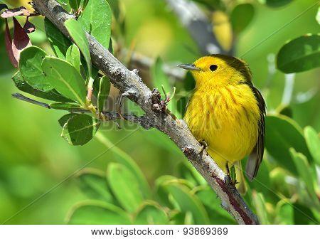 ellow Warbler (Dendroica petechia gundlachi)