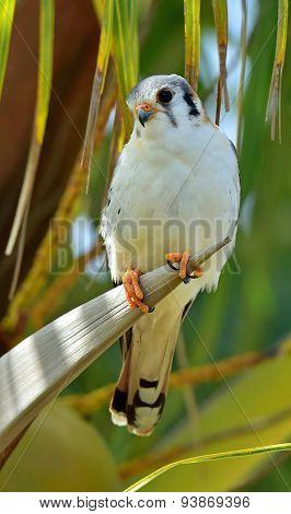 American Kestrel (falco Sparverius Sparveroides) (light Morph)