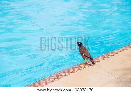 Indian Myna Bird On The Swimming Pool