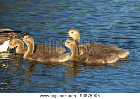 Young Canada Geese.